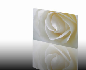 Witte roos op canvas